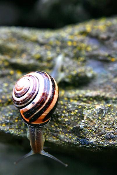 Resident snail of Slea Head