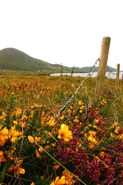 Wildflowers on the Ring of Kerry