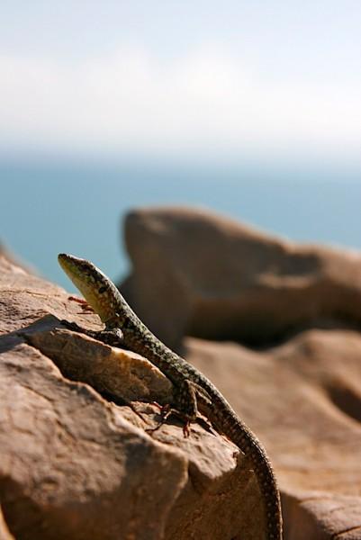 A lizard of Zingaro National Park