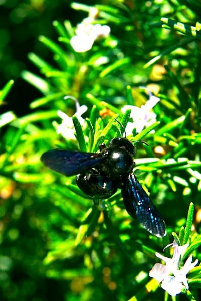 Indigo bumblebee at Zingaro