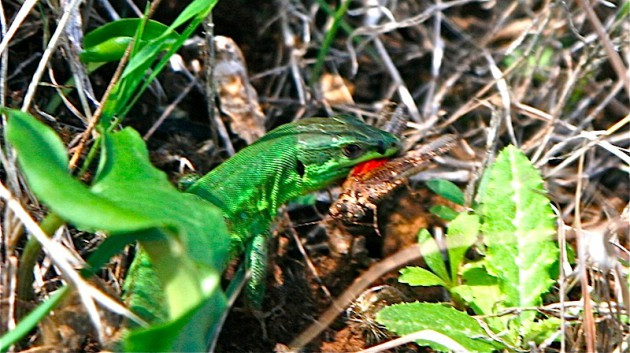 Lizard with grasshopper for lunch