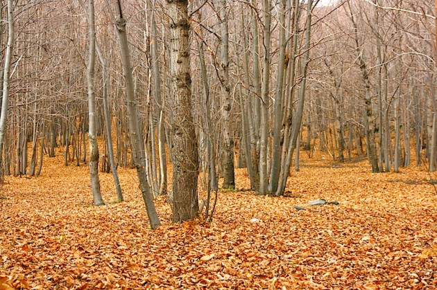 Birch wood near the Valle de Bove and Mount Zoccolaro