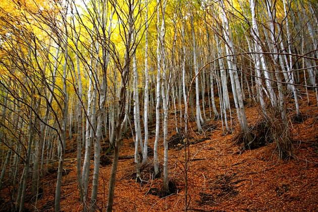 Birch wood by Mount Zoccolaro