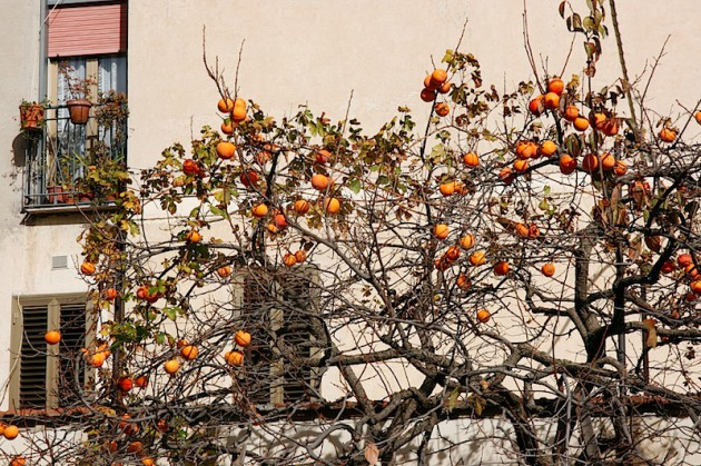 Orange tree in Randazzo