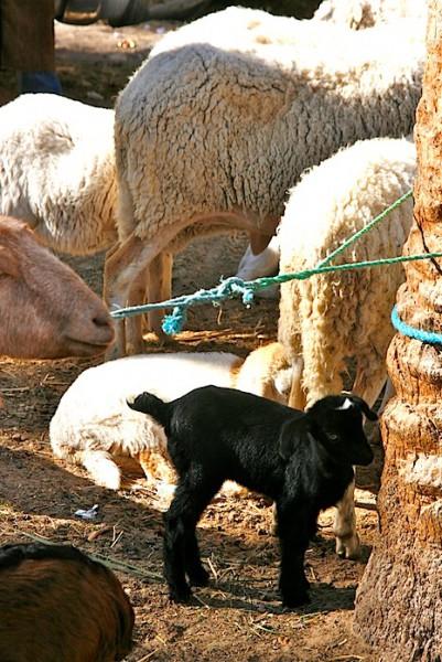 The Douz animal market