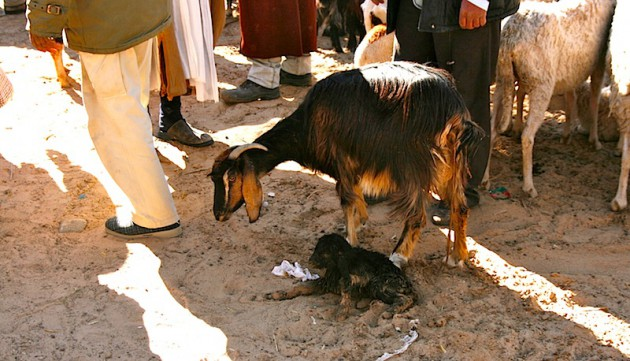 Newborn goat at the Douz animal market