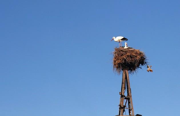 Stork with hatchling
