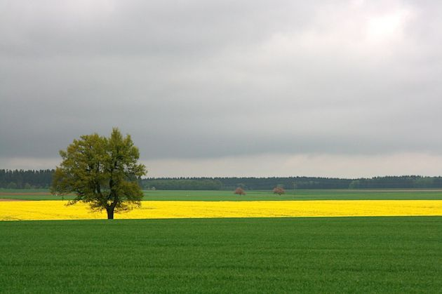 Tree in field with yellow canola, perhaps
