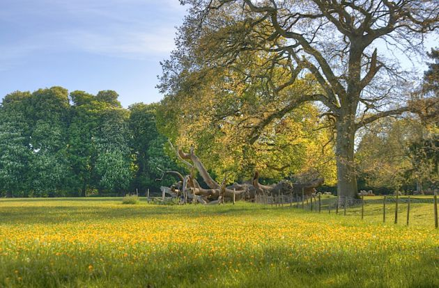 Field of flowers with trees in Wootton