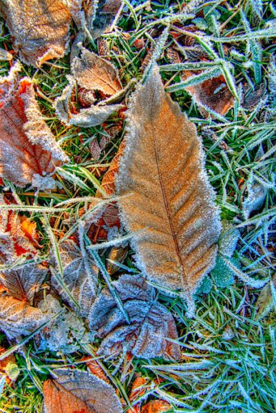 Frosty Autumn Leaf, HDR