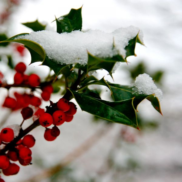 Holly  Leaves Snow