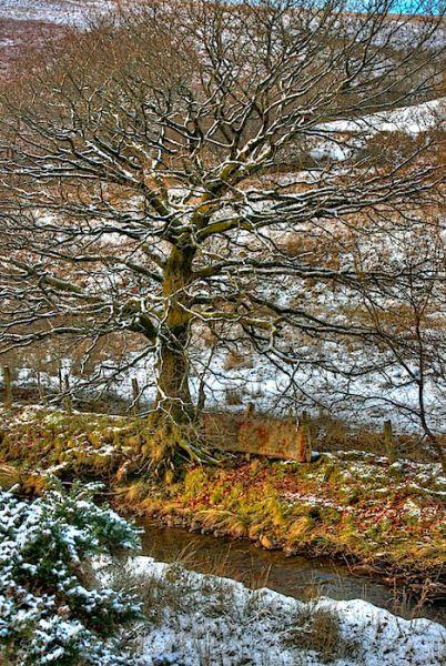Oak Tree HDR