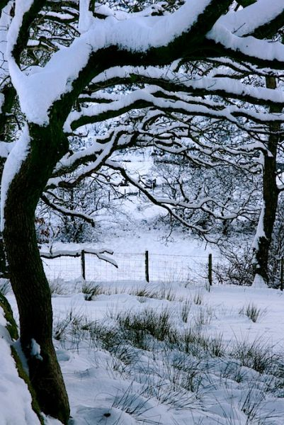 Oak Trees Snow