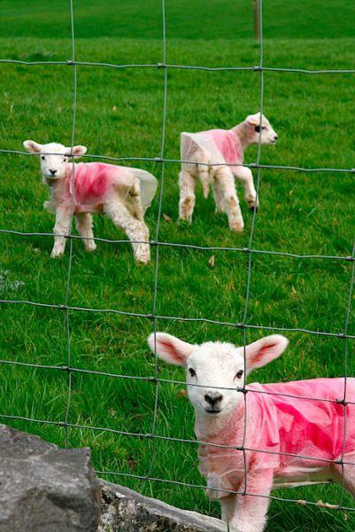 Lambs, Peak District