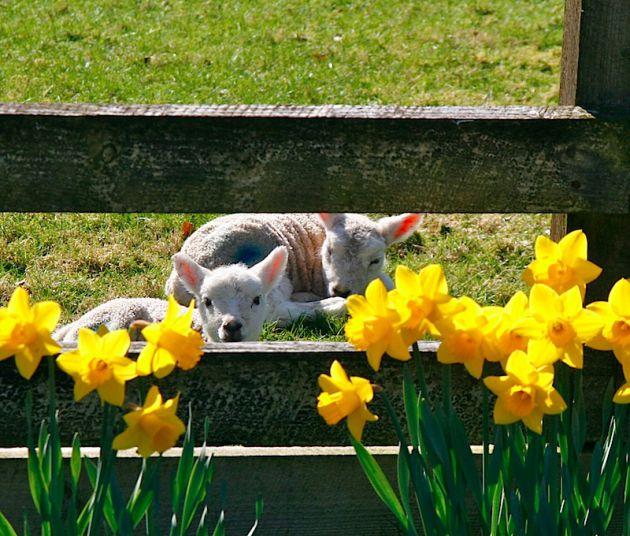 Lambs in Hawkshead