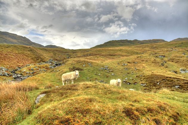 Sheep on Ben Lawers