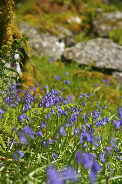 Bluebells, the Lost Valley, Glencoe
