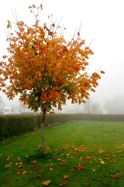 Autumn Tree in Fog