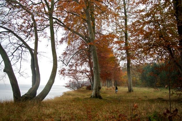 Autumn Trees on the Coast in Denmark