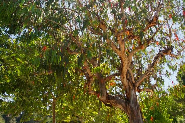 Eucalyptus Tree-Barcelona