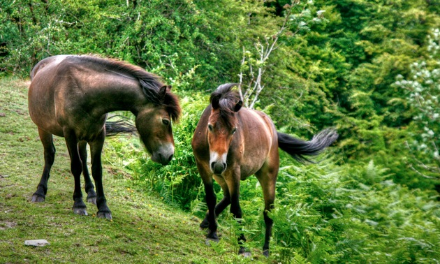 Exmoor Ponies tonemapped