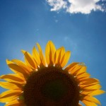 Sunflower-Provencejpg.jpg